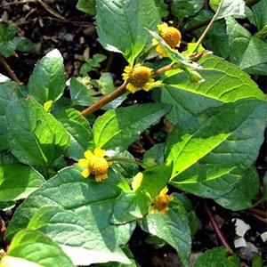 Jambu Plant Extract